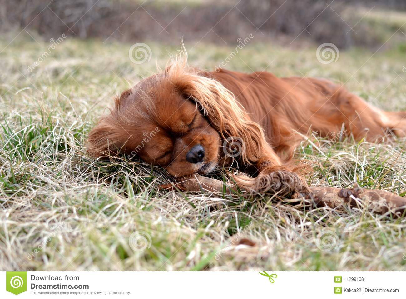 Cute Ruby Cavalier King Charles Spaniel Puppy Sleeping On Meadow Stock Image Image Of Ruby Field 112991081