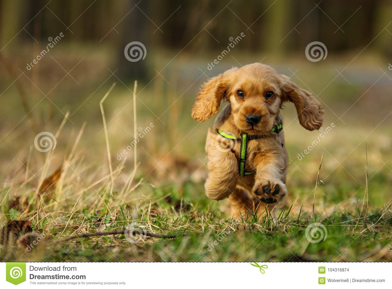 Cute running puppy of golden cocker spaniel