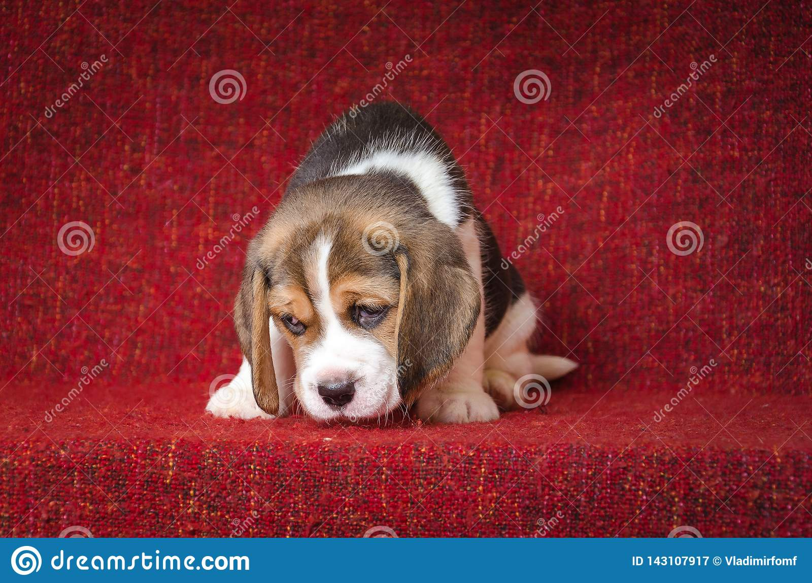 Cute And Sad Beagle Puppy On Red Background Stock Image Image Of Eyes Close 143107917