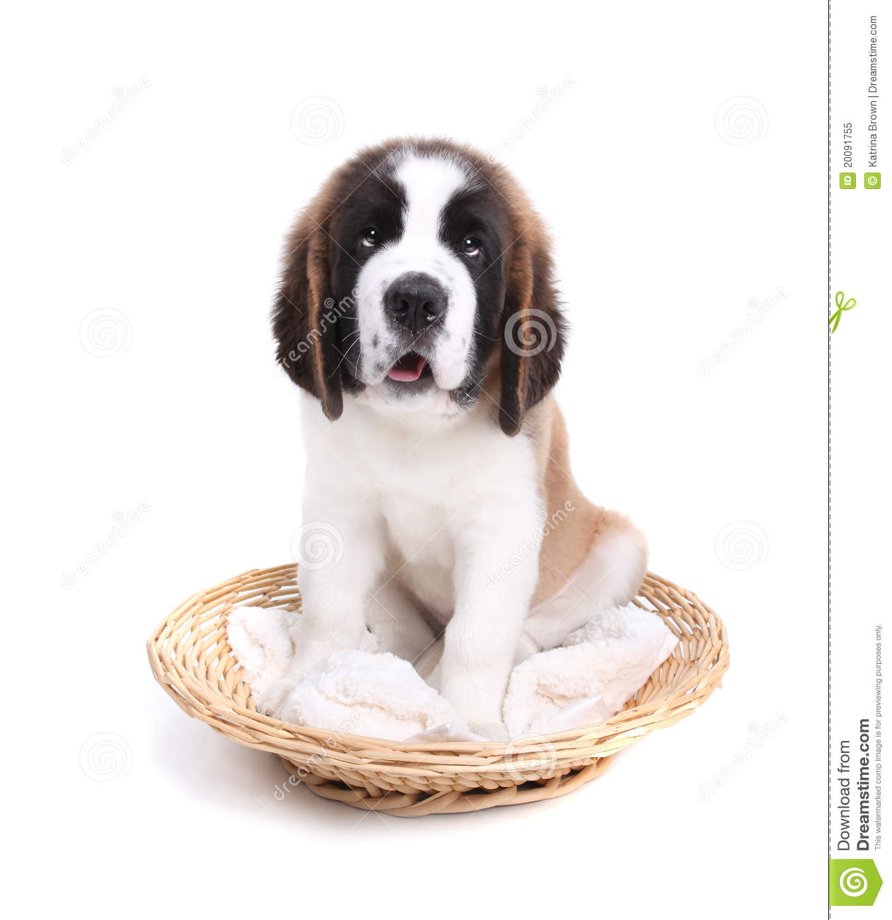 crushed dreams of having a saint bernard pup This guy must have been crushed to death  find this pin and more on saint bernards by lisa christiansen dream come true dog  gorgeous saint bernard puppy too .
