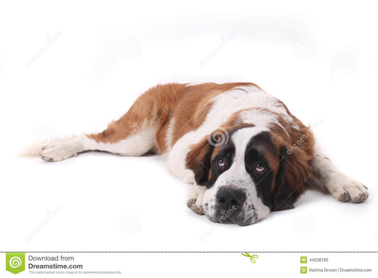 crushed dreams of having a saint bernard pup The saint bernard is unquestionably an attention-getter the st bernard is a dog with a long and romantic history there can be difficulties if young puppies are fed too rich a diet and grow too fast.