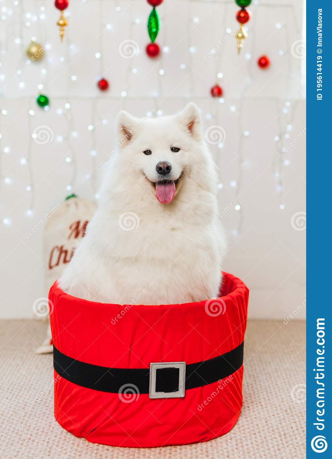 Cute Samoyed Dog In A Red Gift Box For Christmas Stock Image Image Of Dachshund Pedigreed 195614419