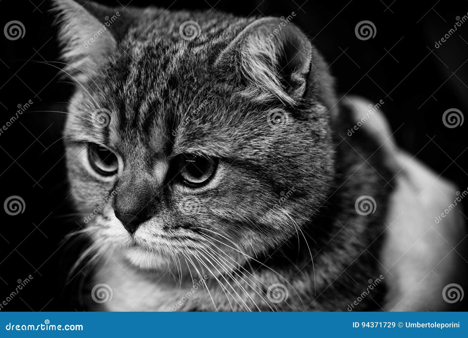 Cute scottish cat black and white animals portraits