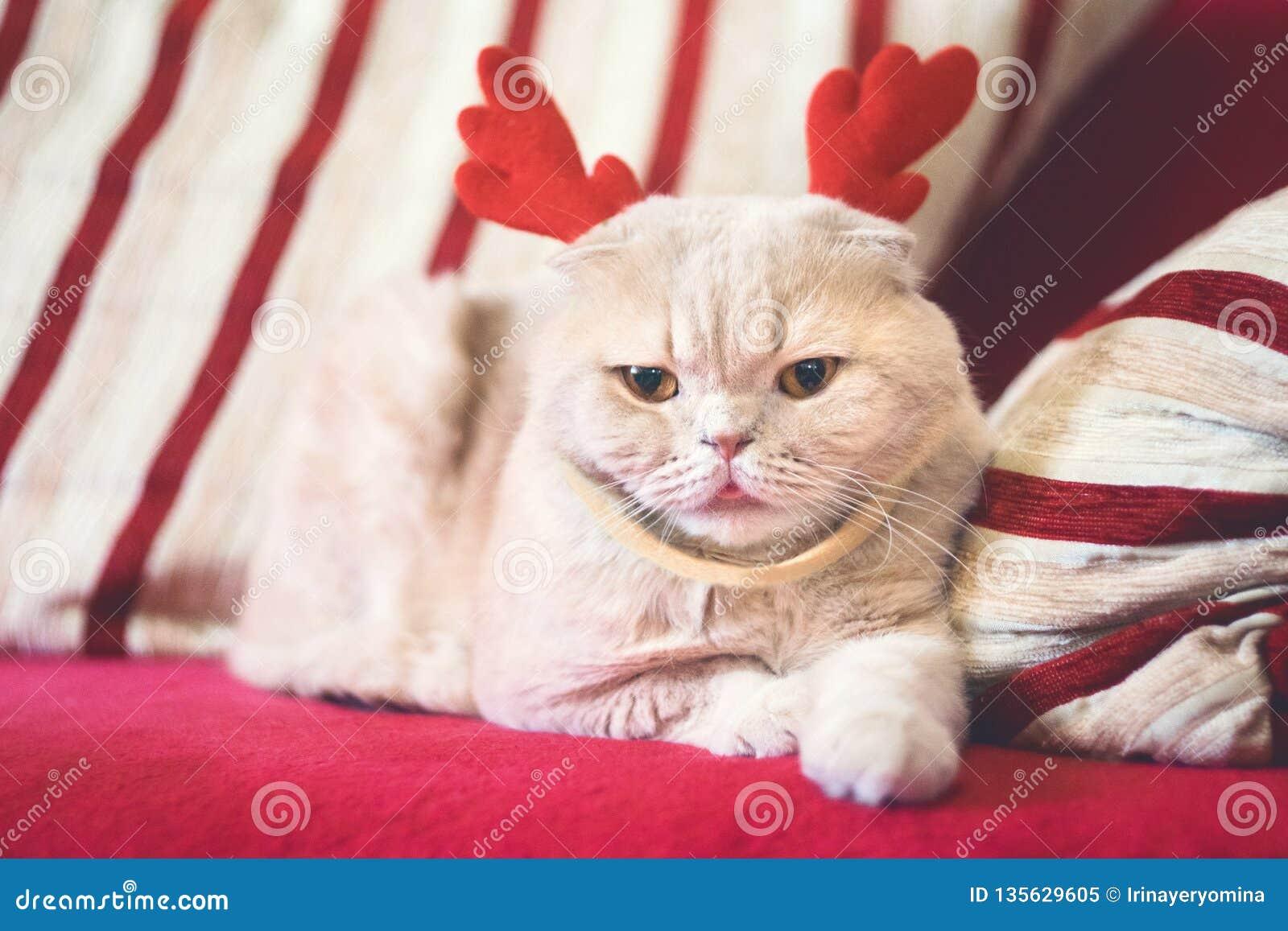 Cute Scottish Fold cat with reindeer Christmas horns. Cream cat dressed as reindeer Rudolph. Christmas animals