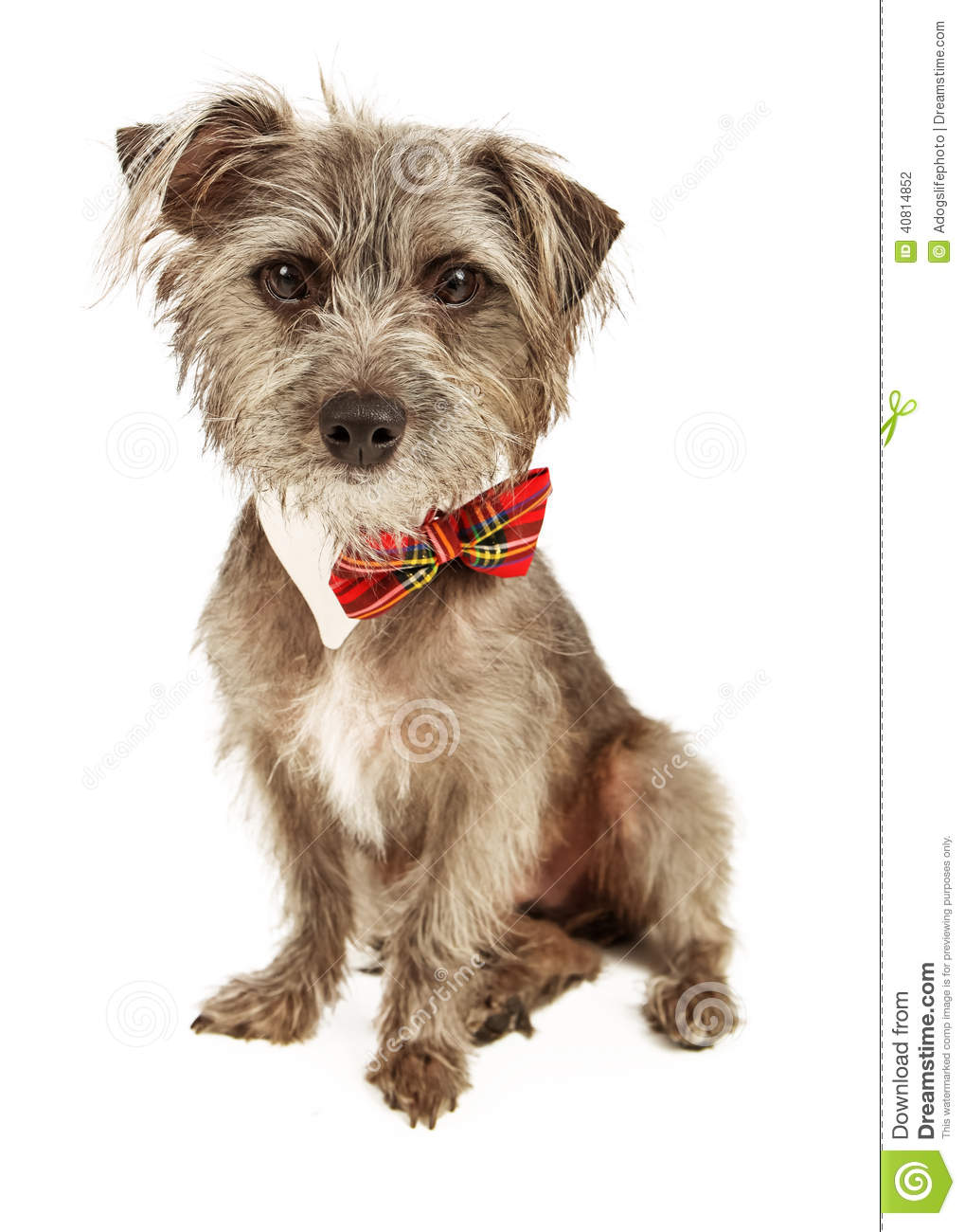 cute small mixed breed terrier dog sitting and wearing a plaid ow ...