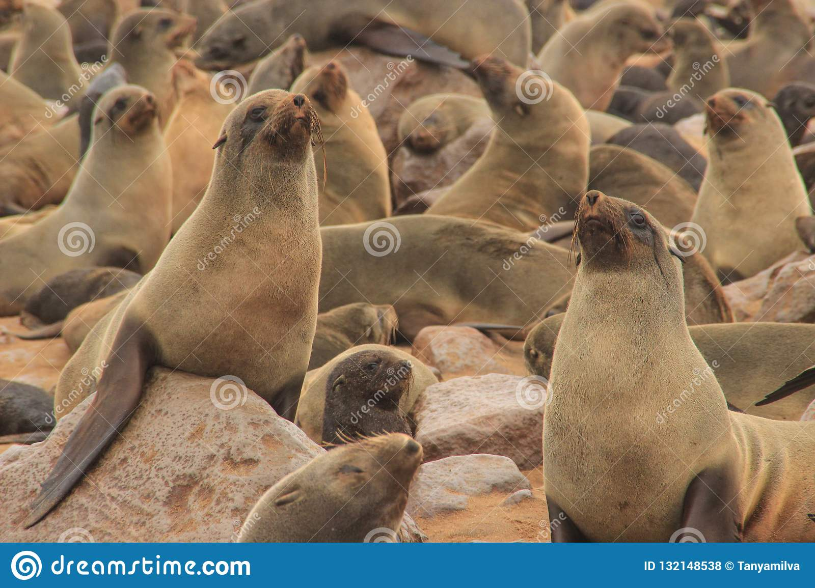 Cute seals frolic on the shores of the Atlantic Ocean in Namibia.