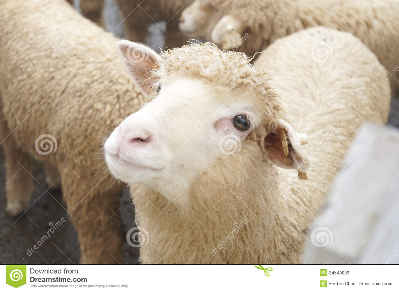 Cute Sheep Royalty Free Stock Images