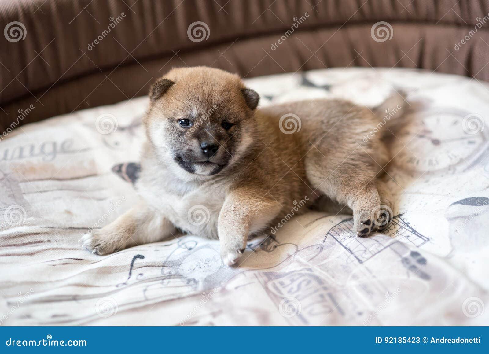 Cute Shiba Inu puppy dog stock image  Image of cream - 92185423
