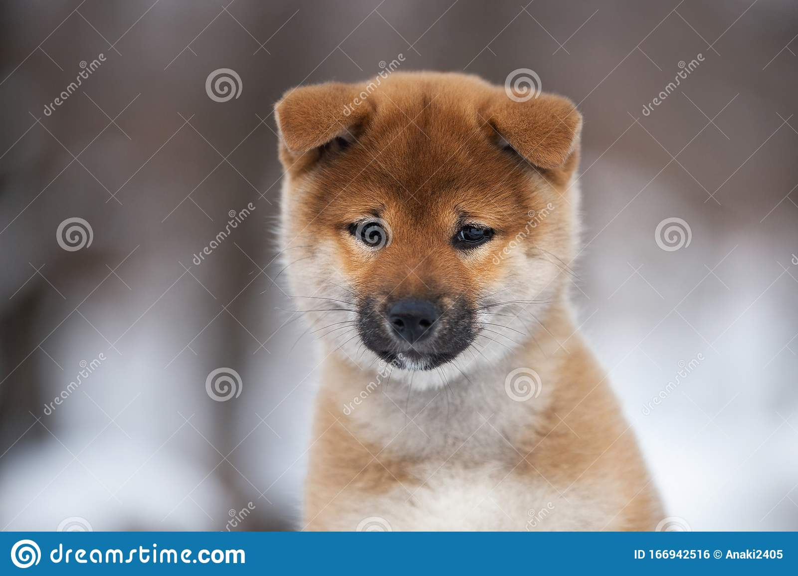 Cute Shiba Inu Puppy Sitting On A Wooden Bench In Winter Japanese Shiba Inu Dog In The Snow Stock Photo Image Of Mammal Puppy 166942516
