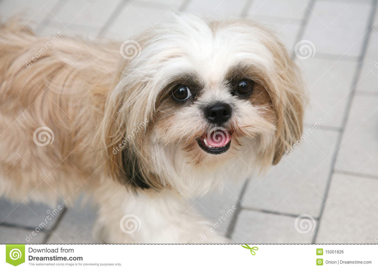 Cute Shih Tzu Stock Photo Image Of Sunny Cuddly Patient