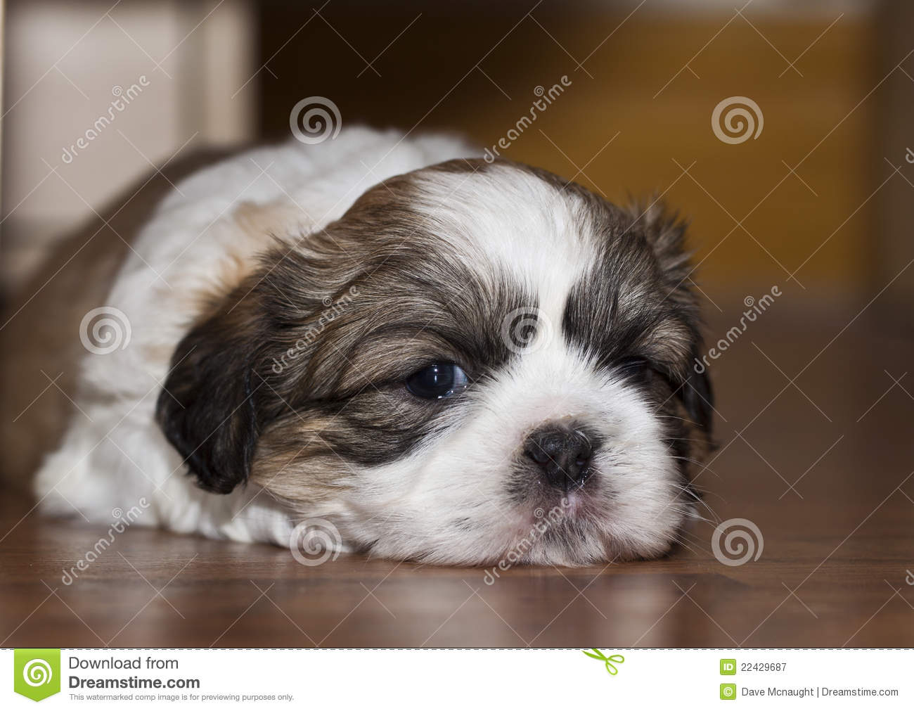 Cute Shih Tzu Dog Stock Image Image Of Looking Adorable 22429687