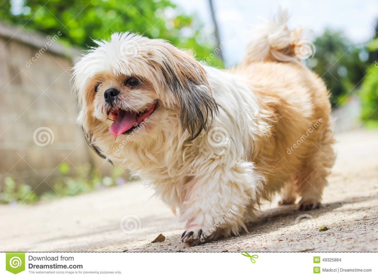 Cute Shih Tzu Dog Walking Stock Photo Image Of Caring 49325884