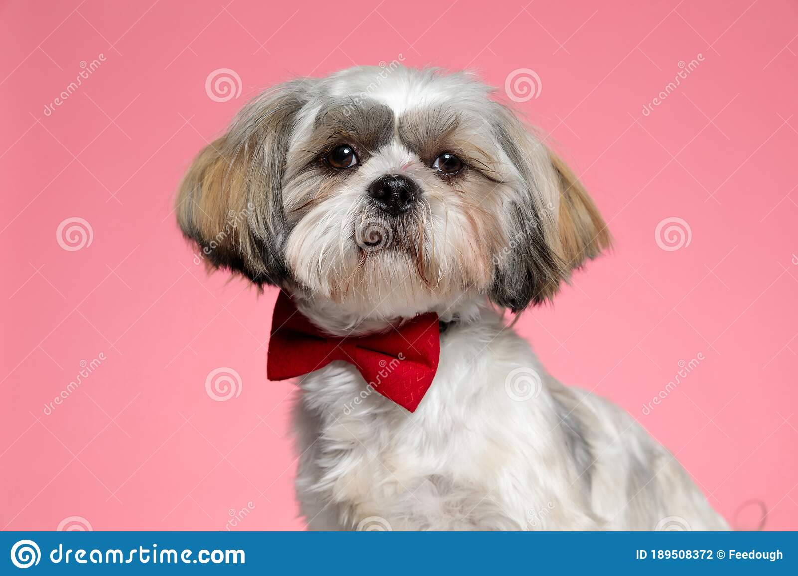 Cute Shih Tzu Puppy Wearing Red Bowtie And Looking To Side Stock Photo Image Of Animal Adorable 189508372