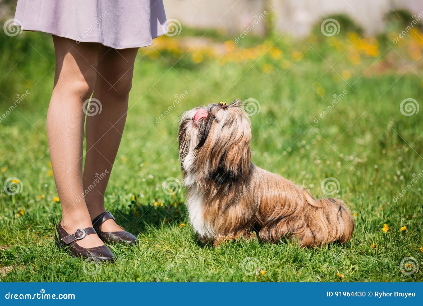 Cute Shih Tzu Toy Dog Sit In Green Spring Meadow. Playful Pet