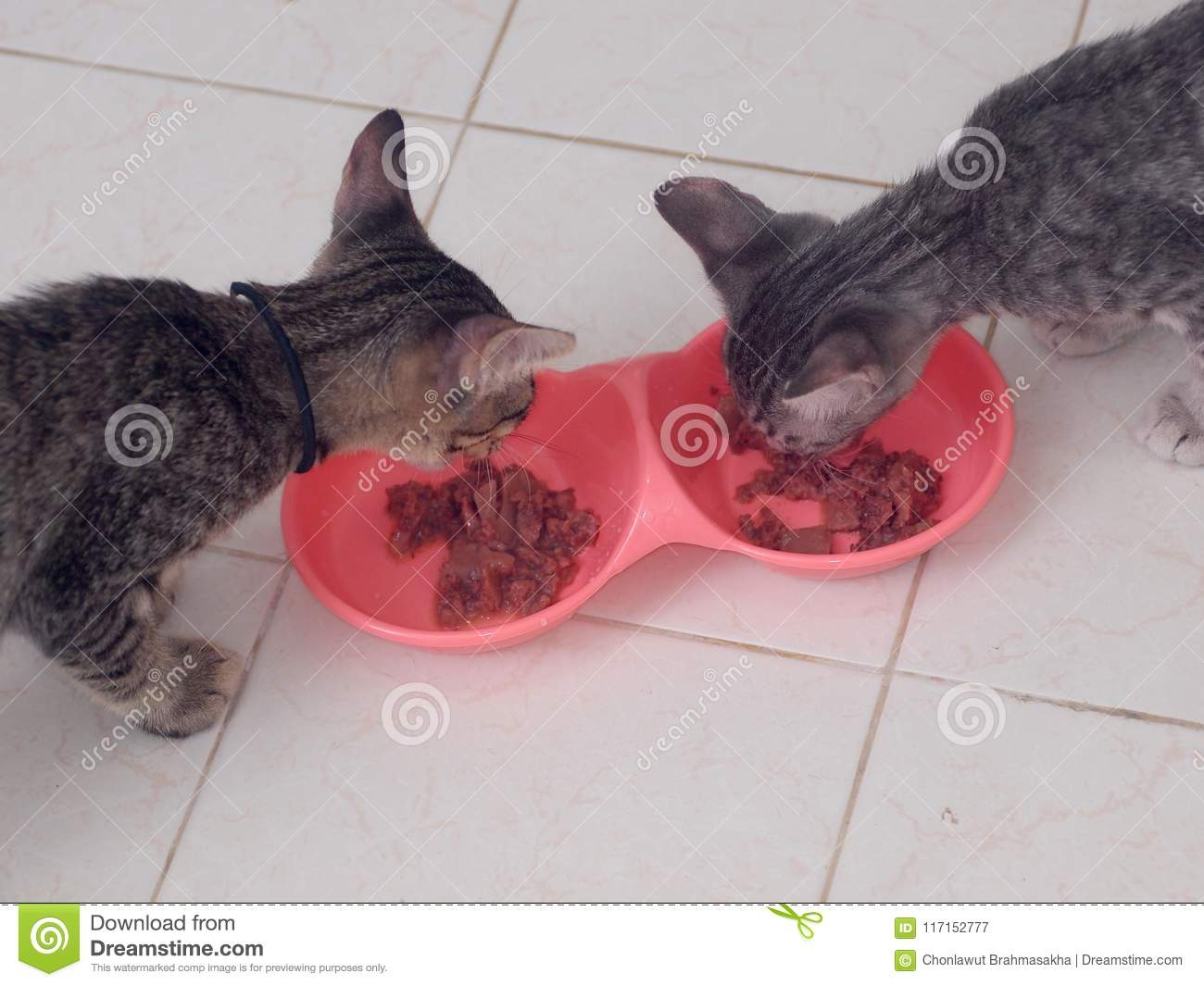 Cute Short Hair Young Asian Kitten Cats Eat Food In Bowl Stock Image