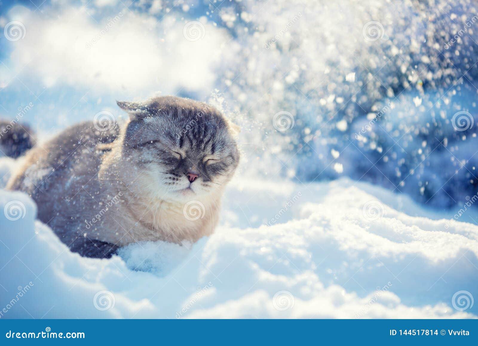 Cute Siamese Cat walking in the snow