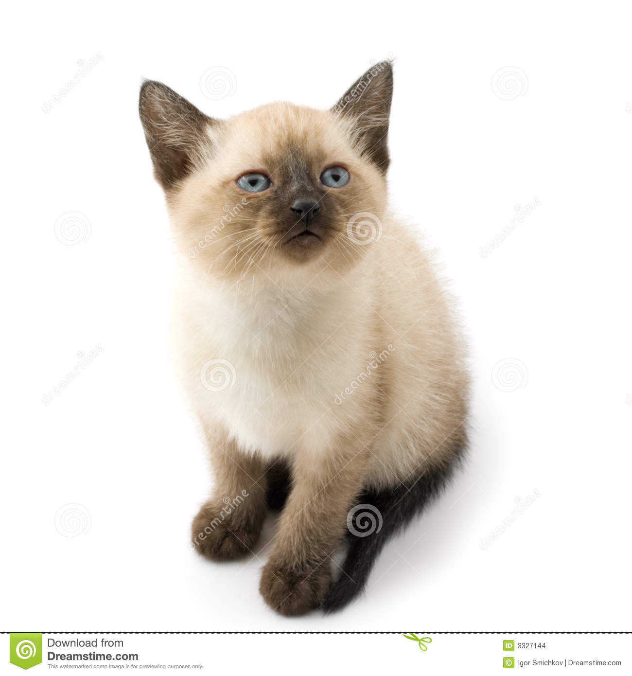 Cute siamese kitten stock photo Image of pets beautiful