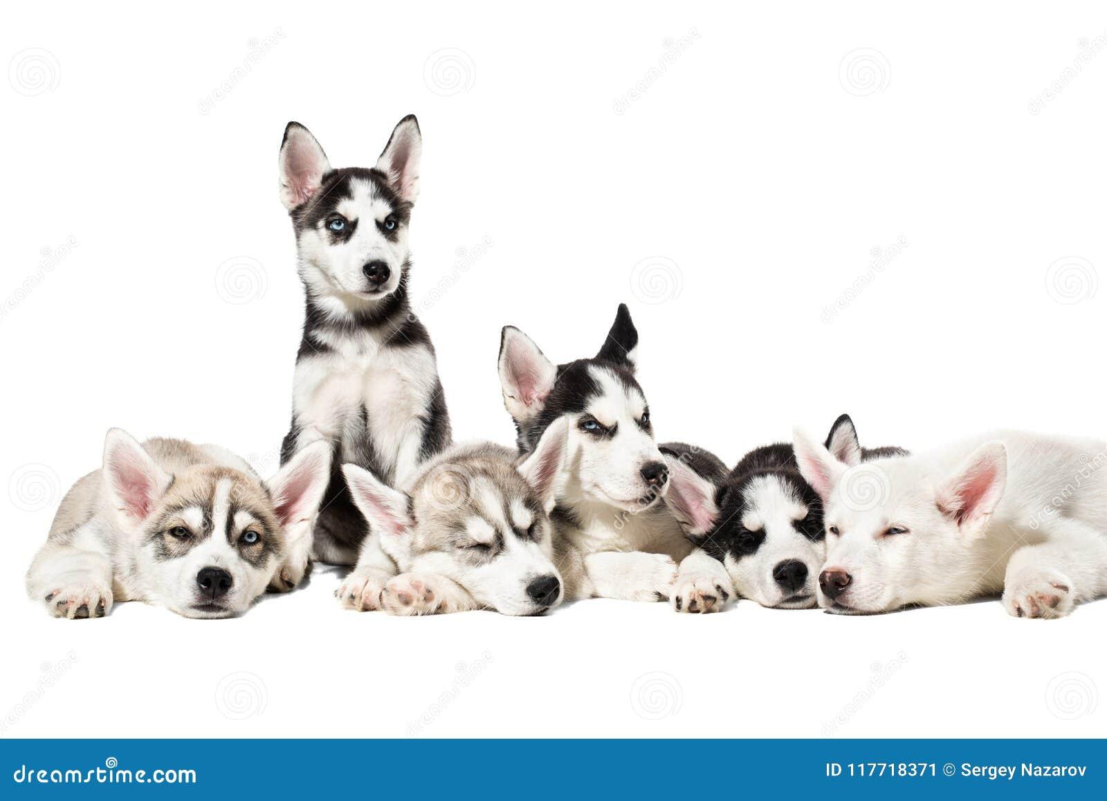 Cute Siberian Husky Puppies On White Background Stock Image Image Of Baby Eyes 117718371