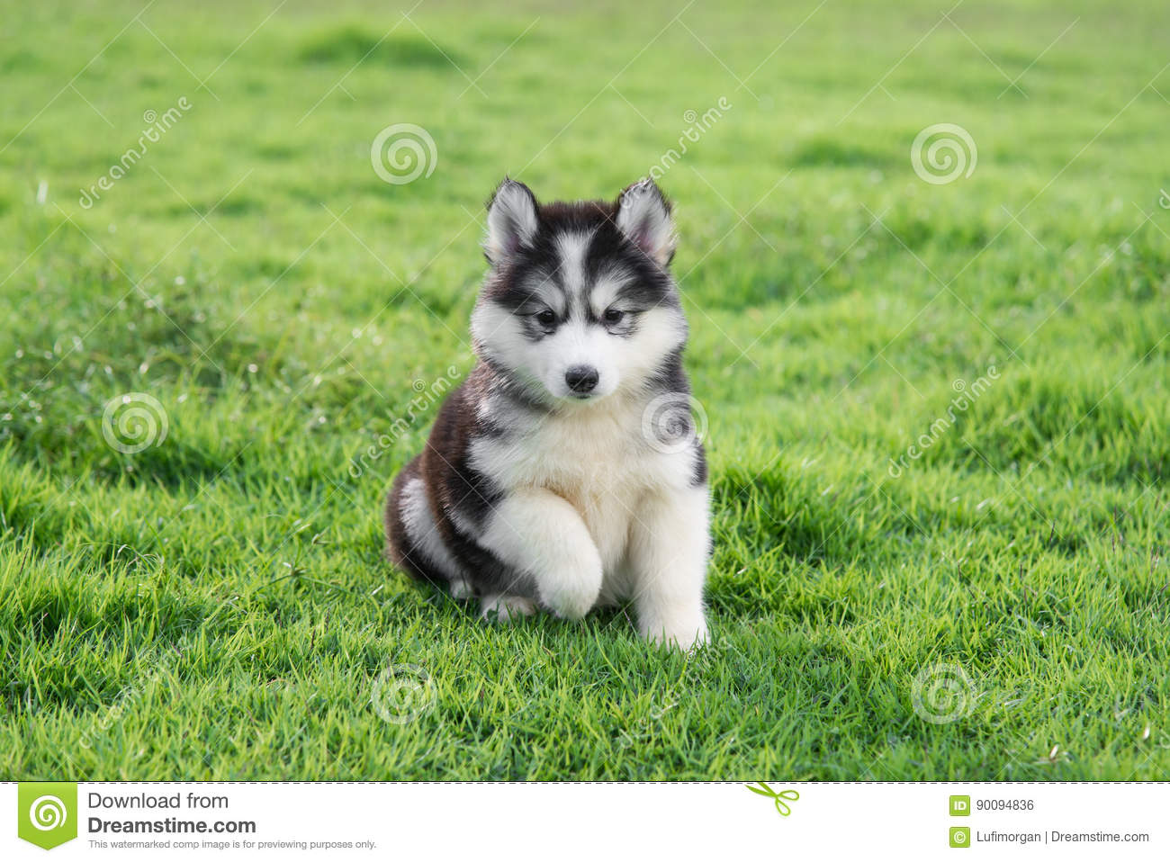Cute Siberian Husky Puppy Stock Photo Image Of Spring 90094836