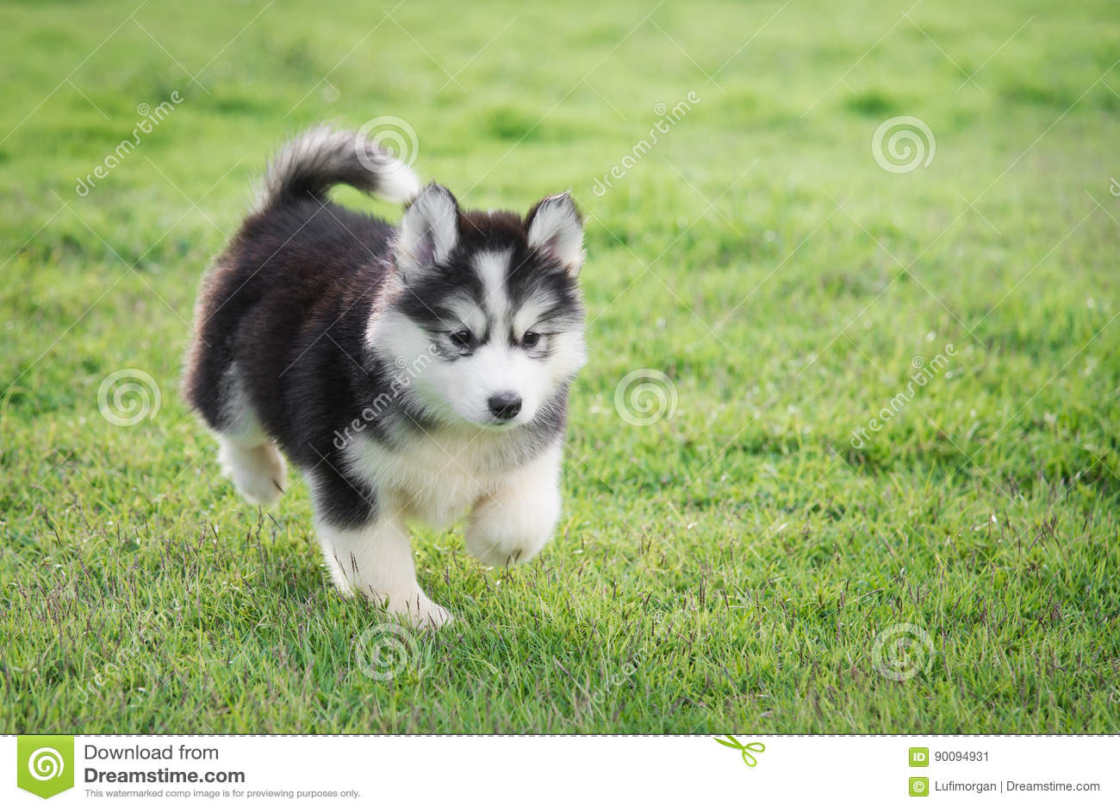 Cute Siberian Husky Puppy Stock Image Image Of Running 90094931