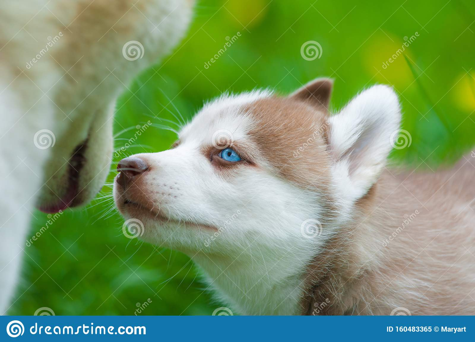 Cute Siberian Husky Puppy And Mother Stock Image Image Of Maternity Park 160483365