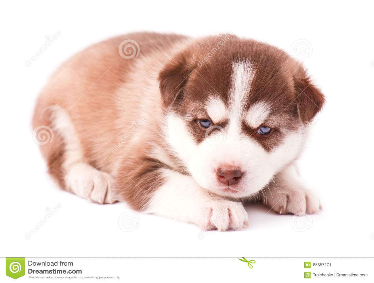 Siberian Husky Puppy With Red Plate On White Background Stock Image Image Of Doggy Golden 85557171