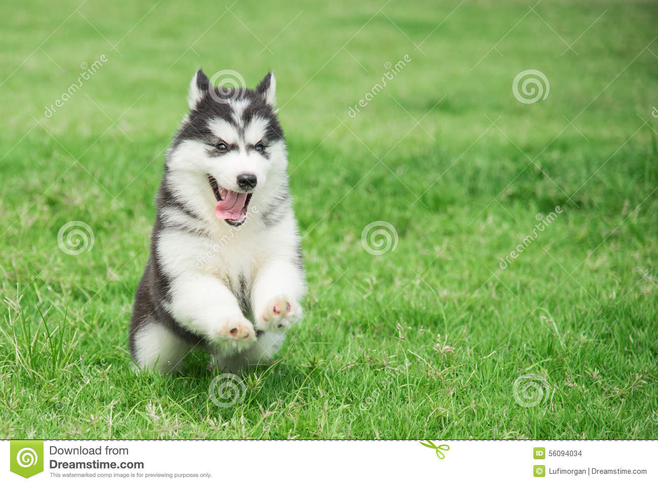 Cute Siberian Husky Puppy Running Stock Photo Image Of Little