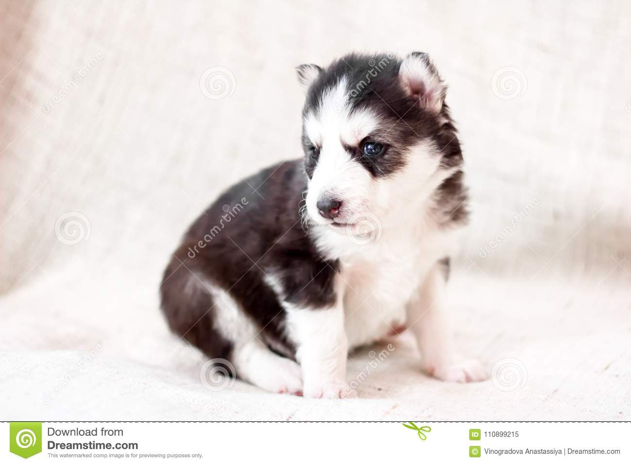 Cute Siberian Husky Puppy Sitting On Sofa At Home Stock Image