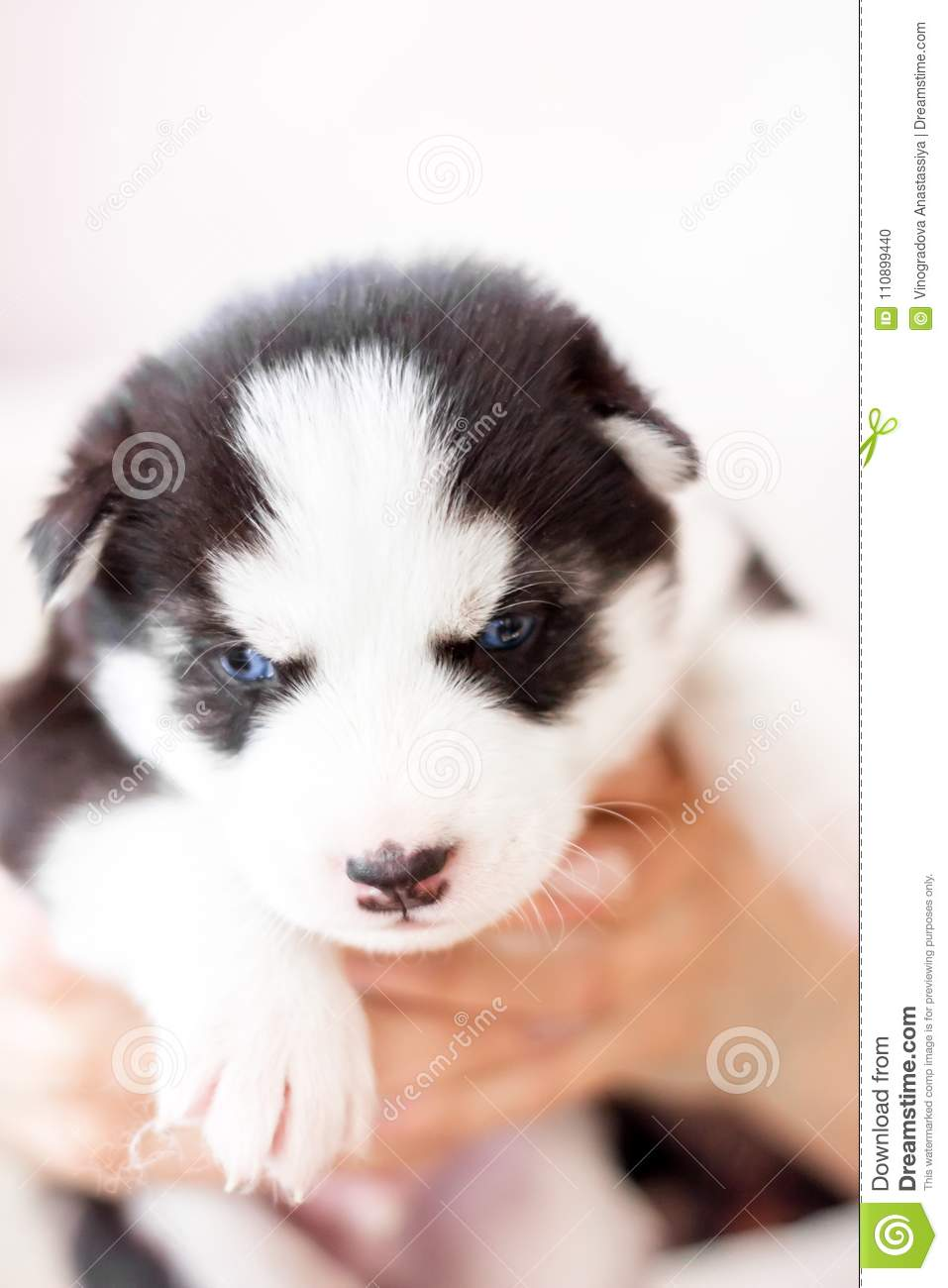 Cute Siberian Husky Puppy Sitting On Sofa At Home Stock Photo Image Of Cute Animal 110899440