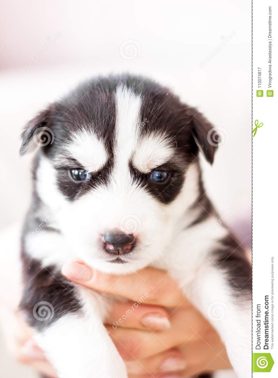 Cute Siberian Husky Puppy Sitting On Sofa At Home Stock Image Image Of Expression Bokeh 110074817