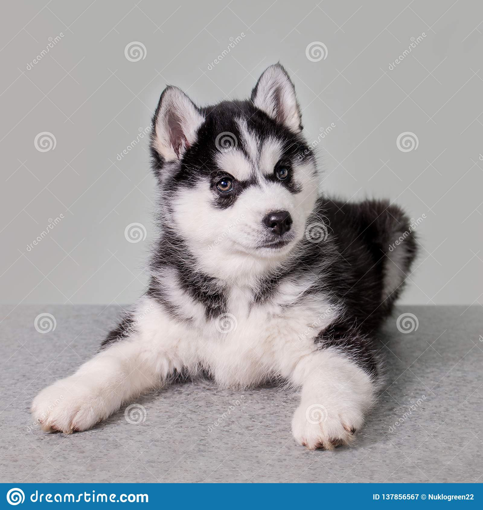 Cute Siberian Husky Puppy Sitting On White Background Stock Image Image Of Animal Doggy 137856567