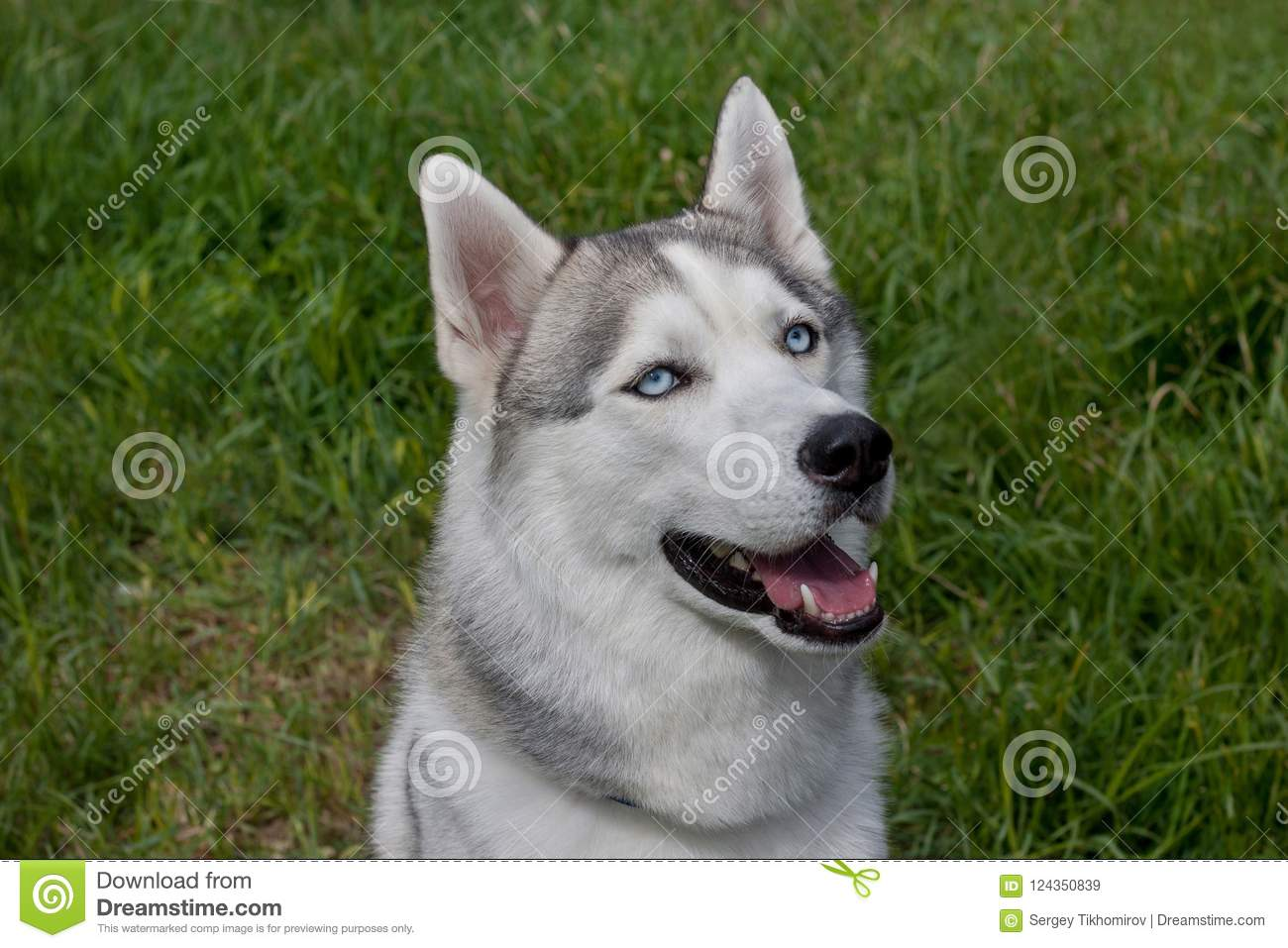Cute Siberian Husky Is Sitting On A Spring Meadow Pet Animals