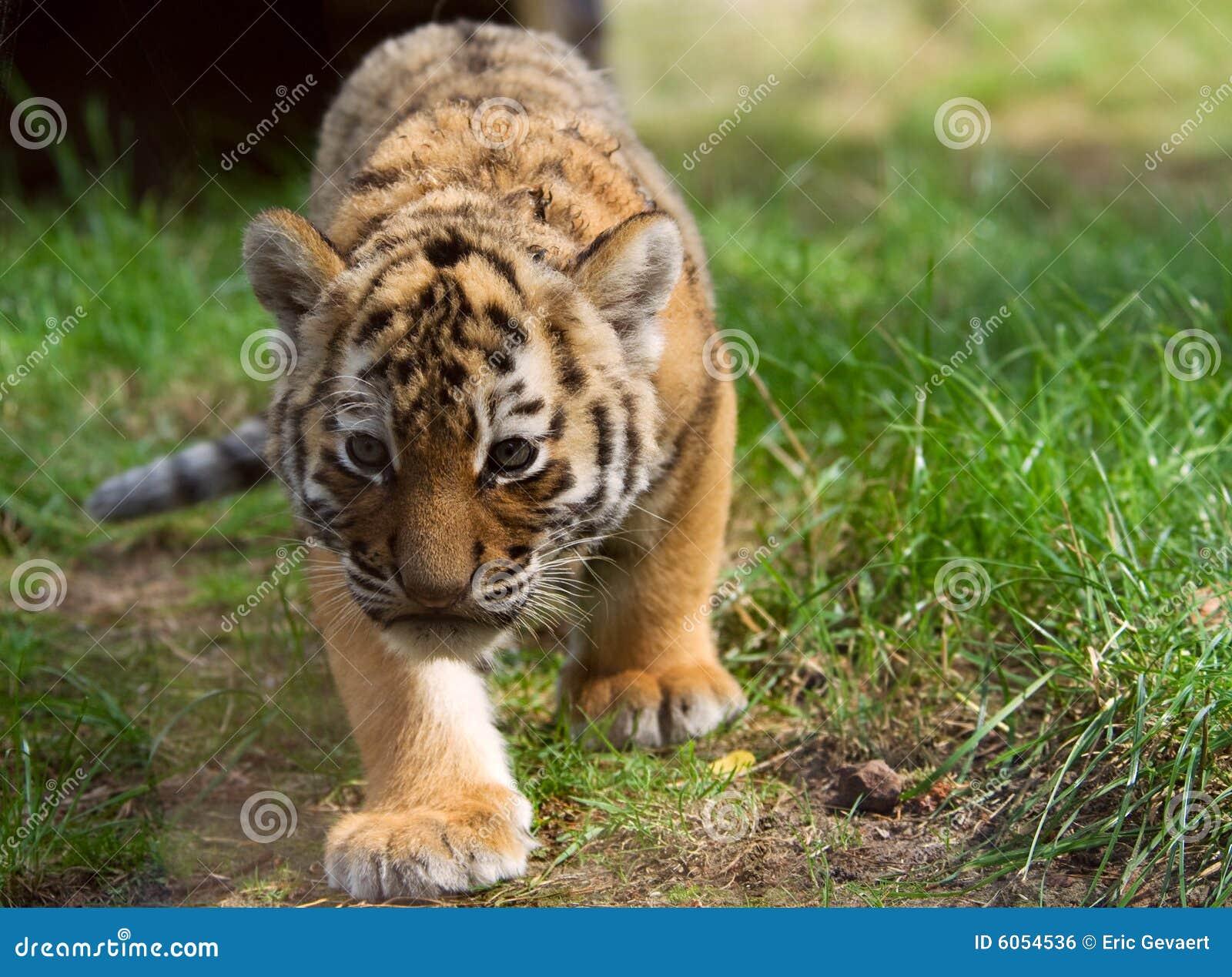 Cute Tiger Cub Holding Heart Vector Illustration ... Cute Siberian Tiger Cubs