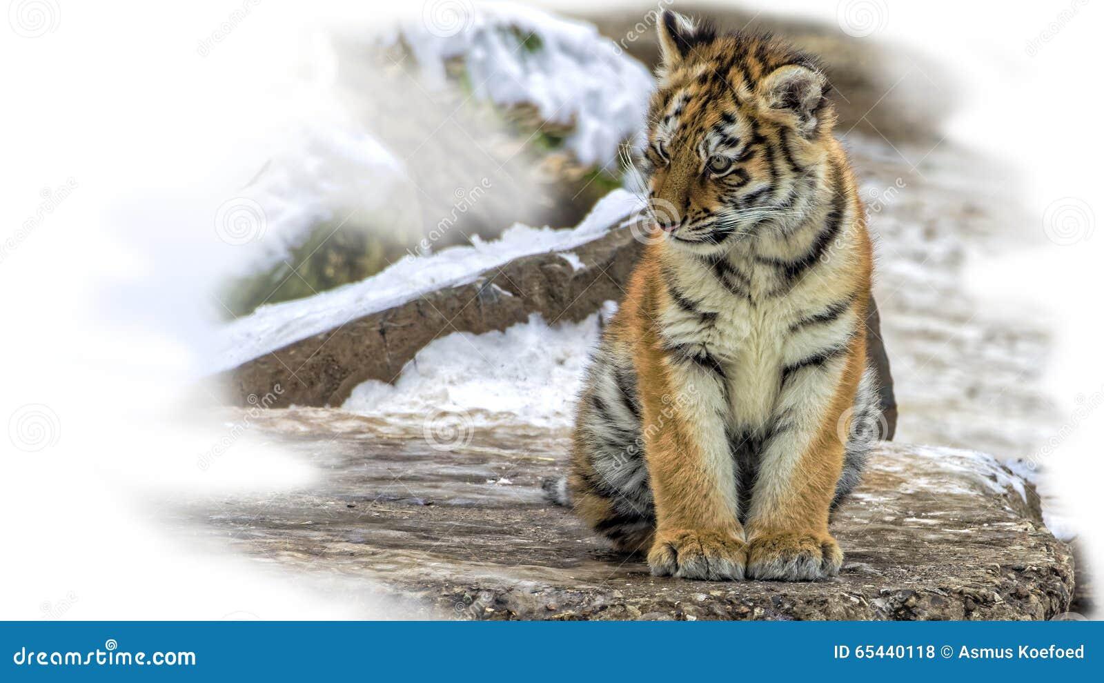 Cute Siberian Tiger Cub Stock Photo - Image: 65440118 Cute Siberian Tiger Cubs