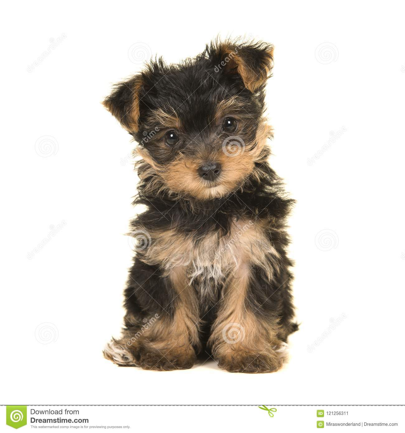 Cute Sitting Yorkshire Terrier Yorkie Puppy Looking At The Came Stock Image Image Of Animal Front 121256311