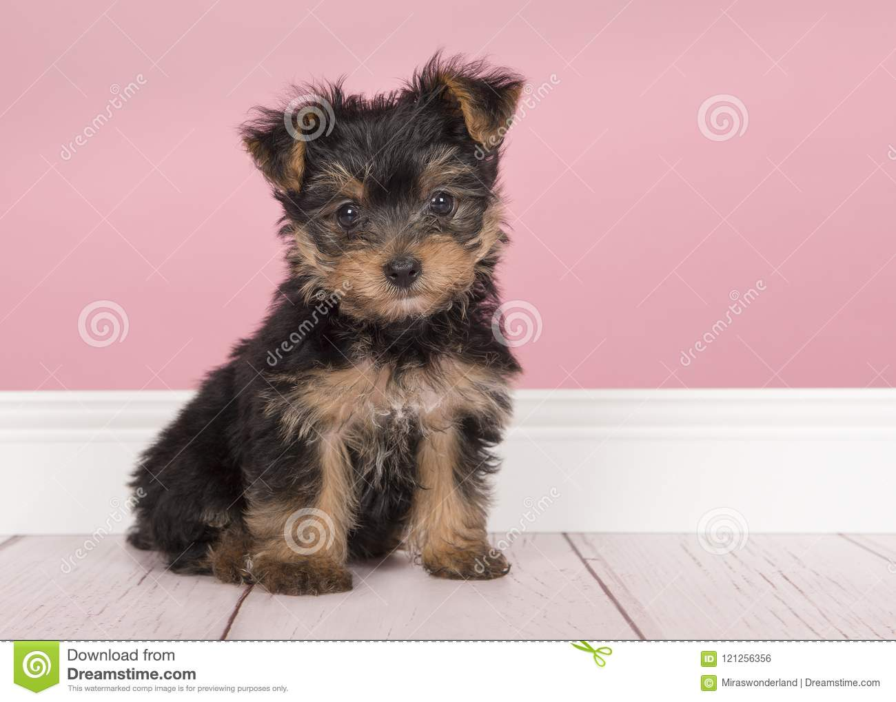 Cute Sitting Yorkshire Terrier Yorkie Puppy Looking At The Came Stock Photo Image Of Terrier Camera 121256356