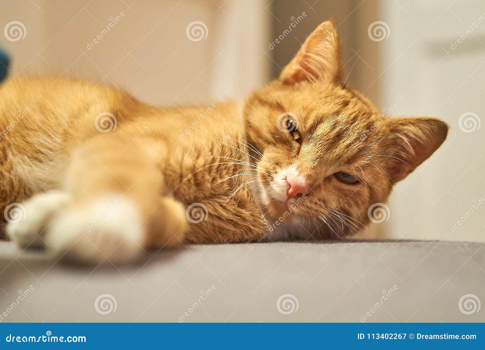 Cute sleepy red cat