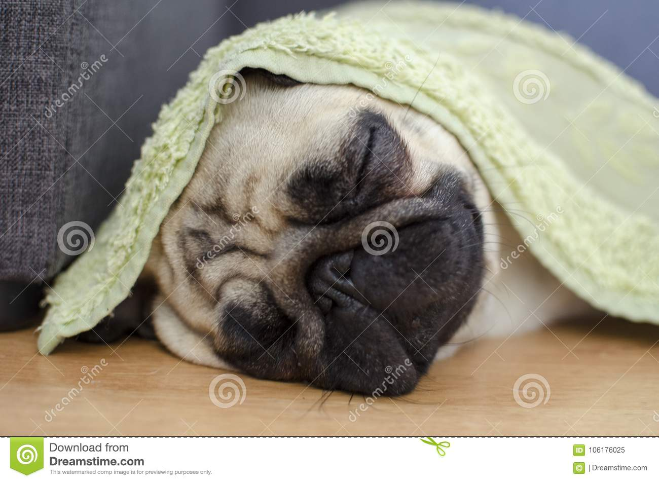 Cute Small Dog Breed Pug Sleeping Under The Wet Towel Way To Sa