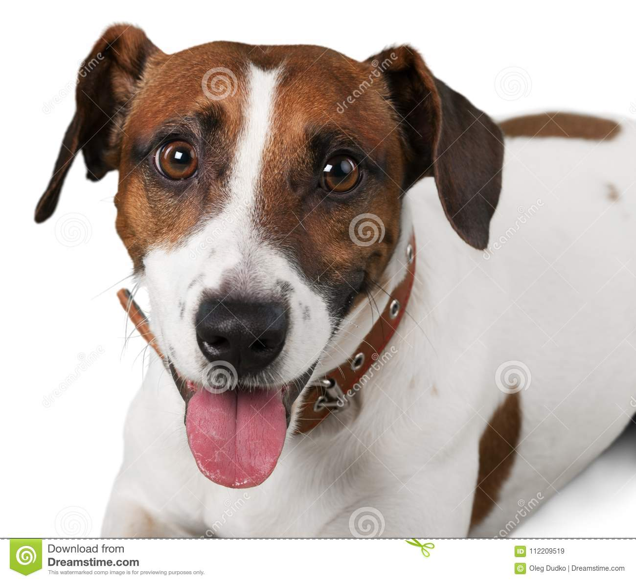 Cute Small Dog Jack Russell Terrier On White Stock Image Image Of