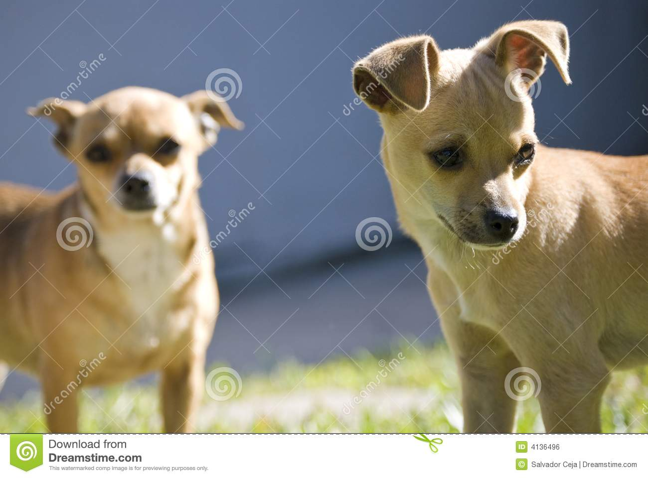 Cute Small Dogs Stock Photo Image Of Street Strong