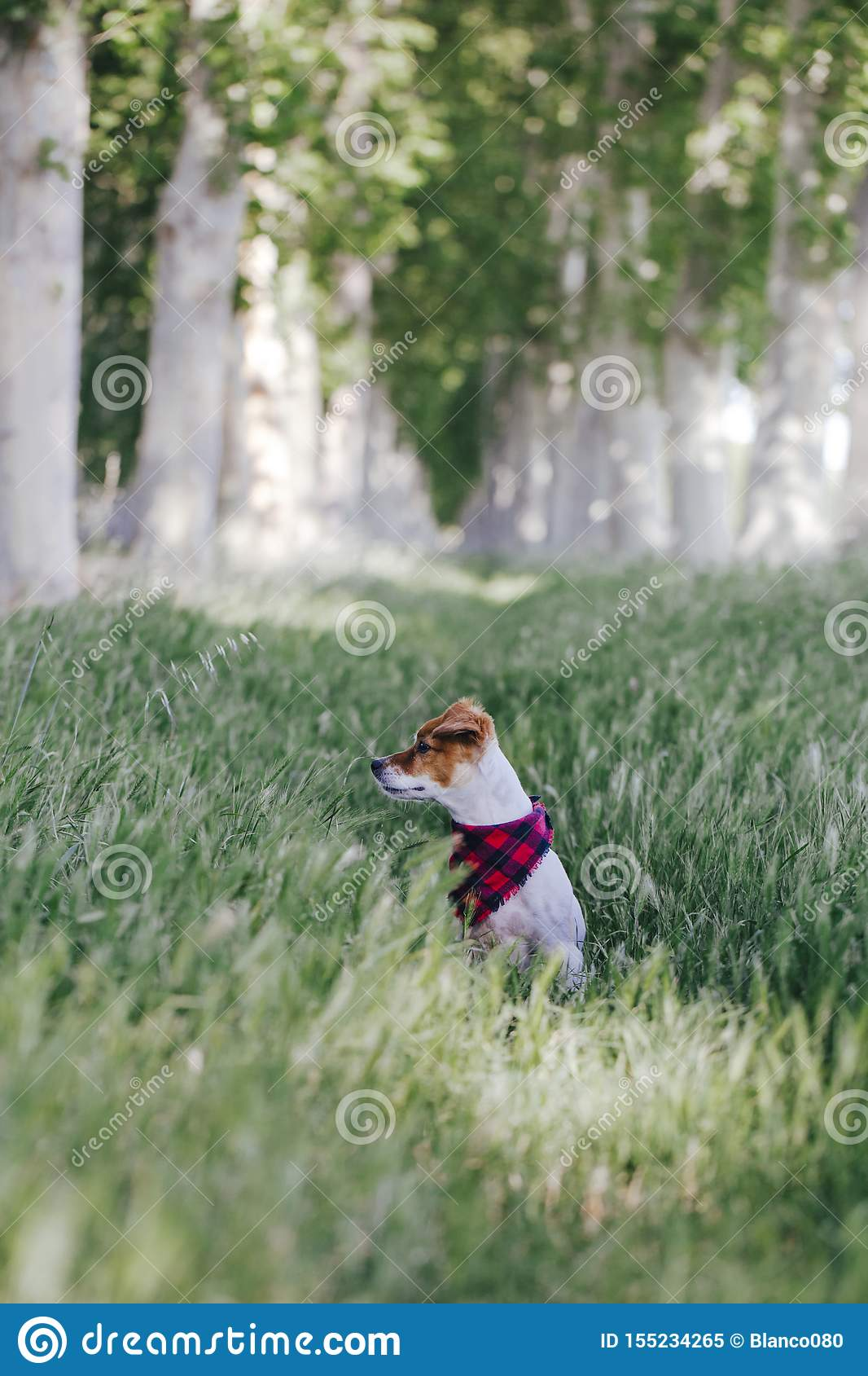 Cute small jack russell dog standing outdoors in a trees way and looking at the camera. Wearing a plaid bandana. Pets outdoors