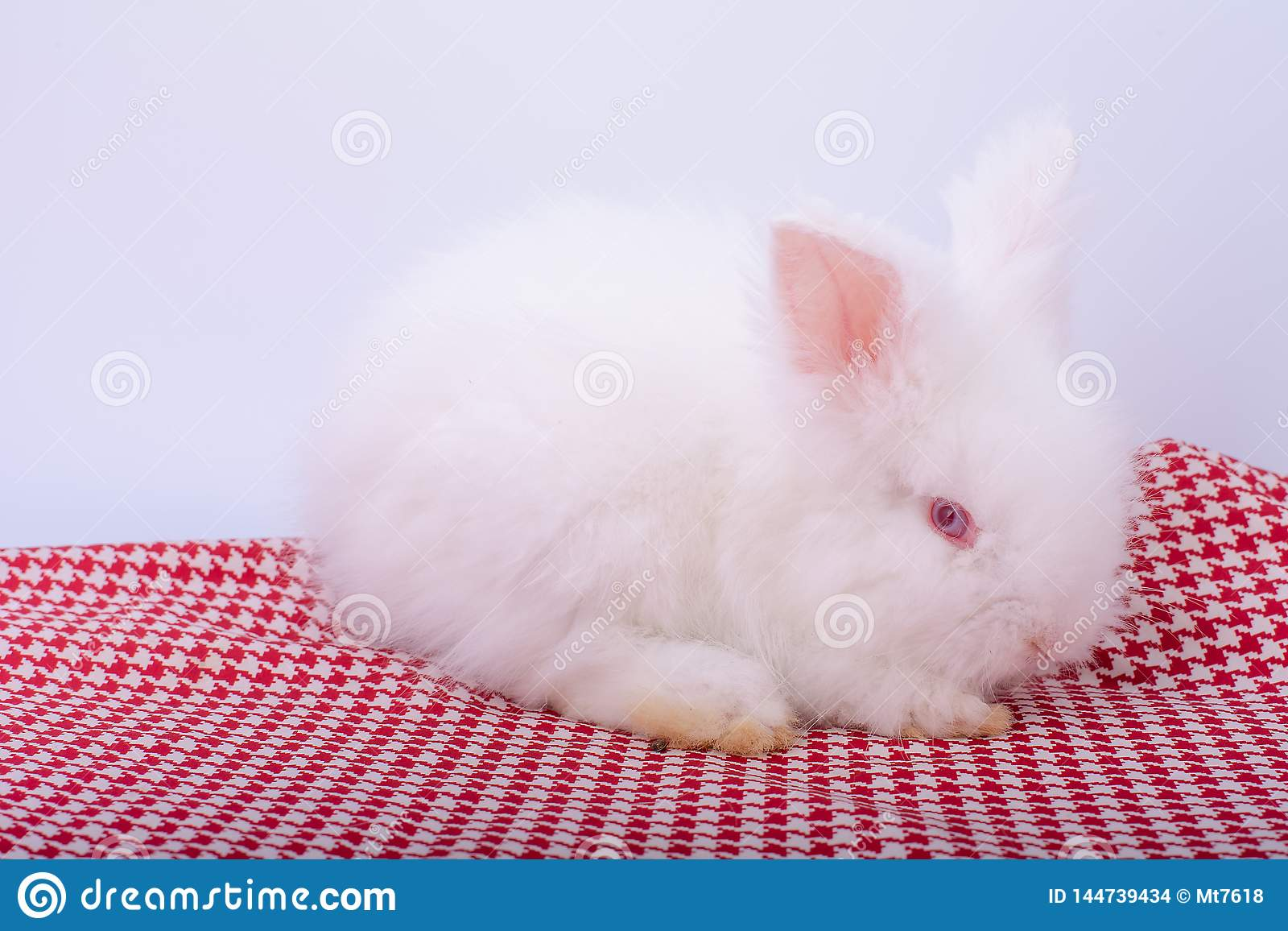 Cute small pink red eye white rabbit stay on red stripes cloth with white background