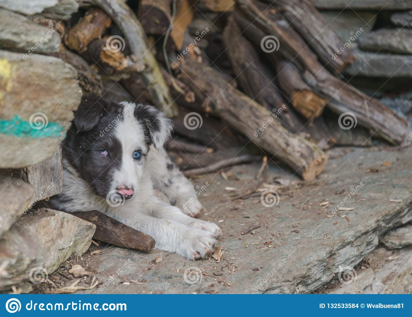 Cute and small puppy dog laid down