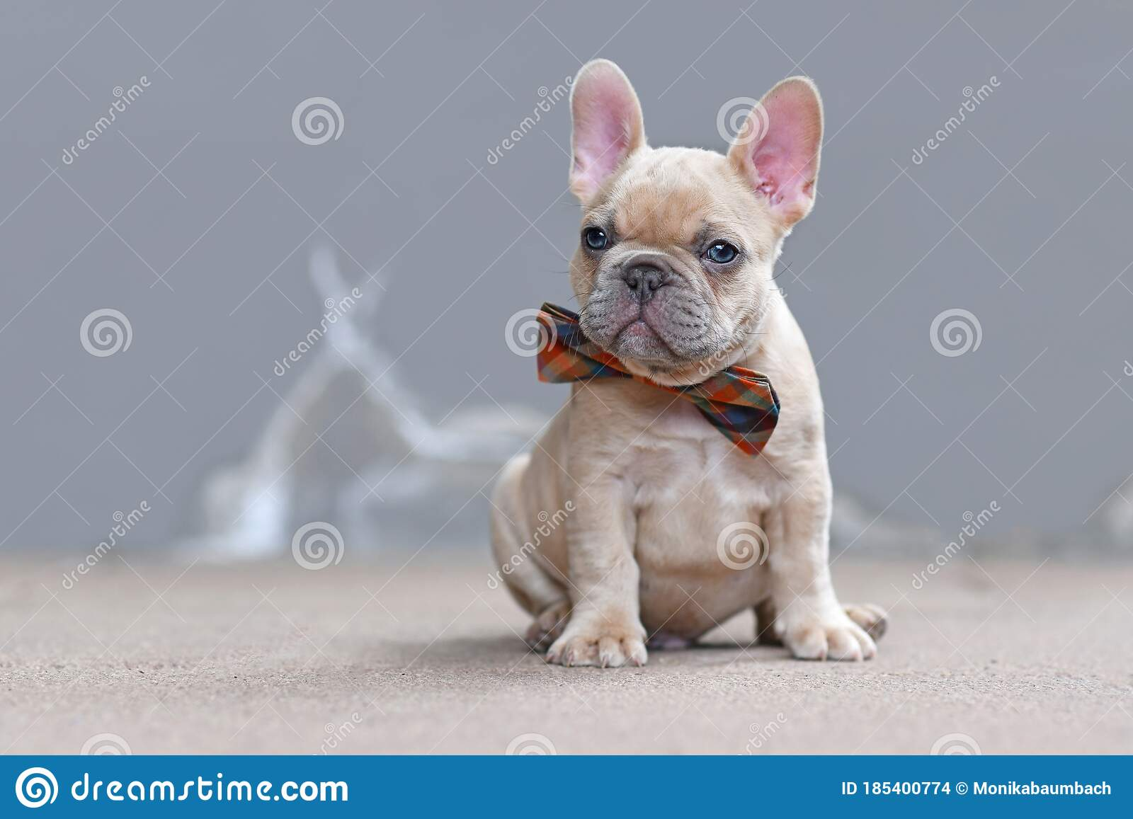 Cute Small 7 Weeks Lilac Fawn Colored French Bulldog Dog Puppy Wearing A Bow Tie In Front Of Gray Wall Stock Photo Image Of Portrait Domestic 185400774