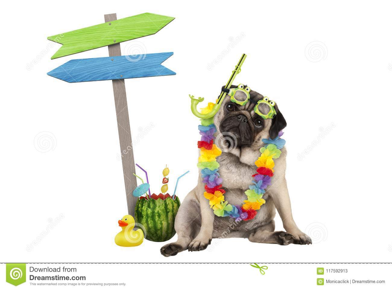 Cute Smart Pug Puppy Dog Sitting Down With Watermelon Cocktail
