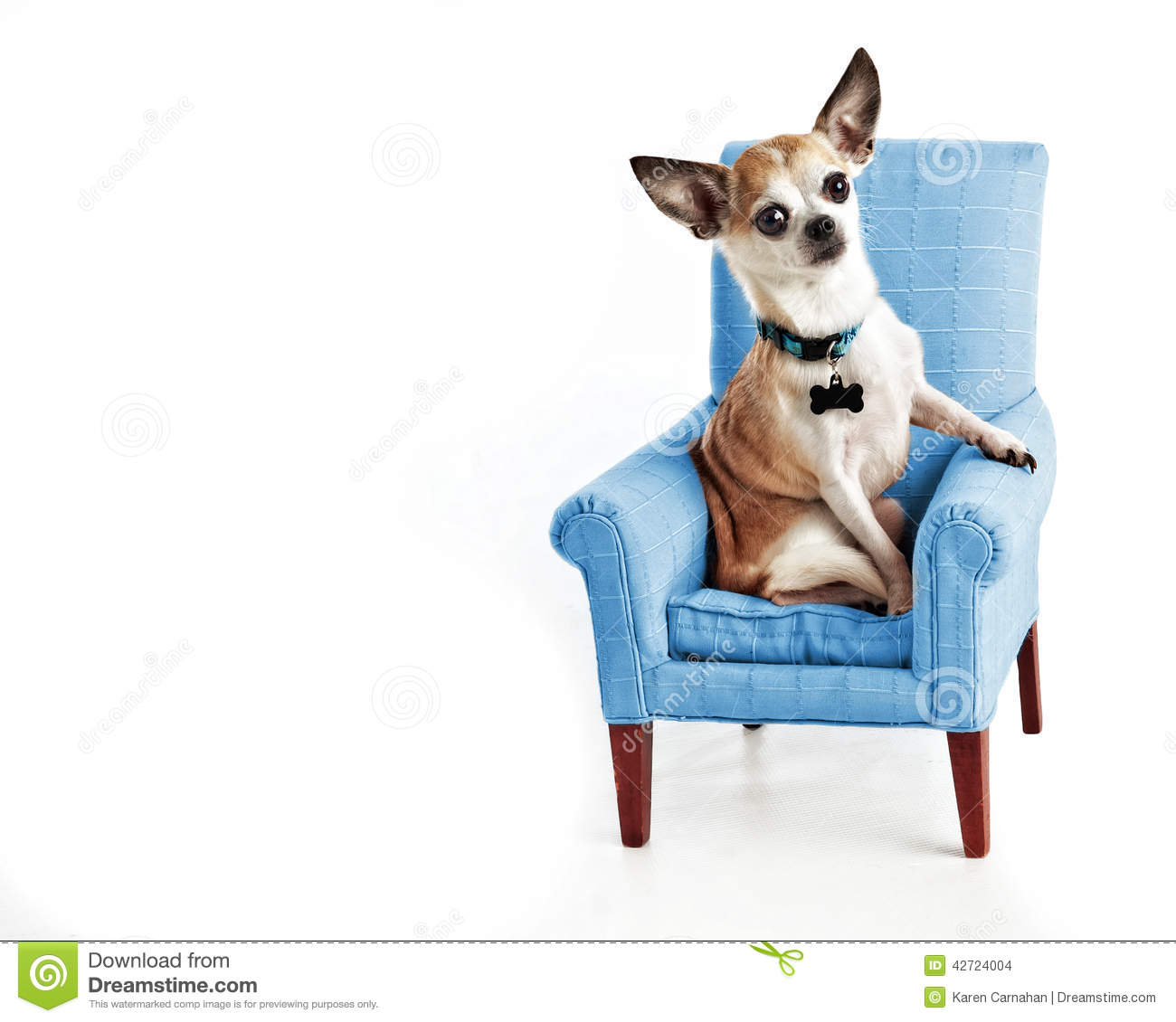 Cute Sophisticated Chihuahua sitting in small comfy chair isolated on white