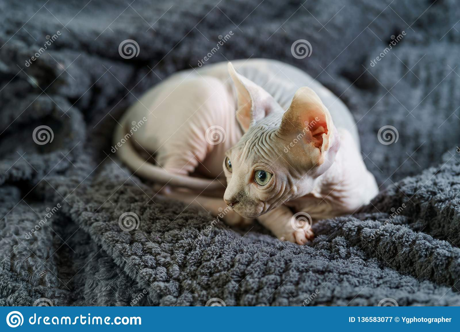 Cute Sphynx Cat Laying On Blanket Stock Image Image Of Hairless Curled 136583077
