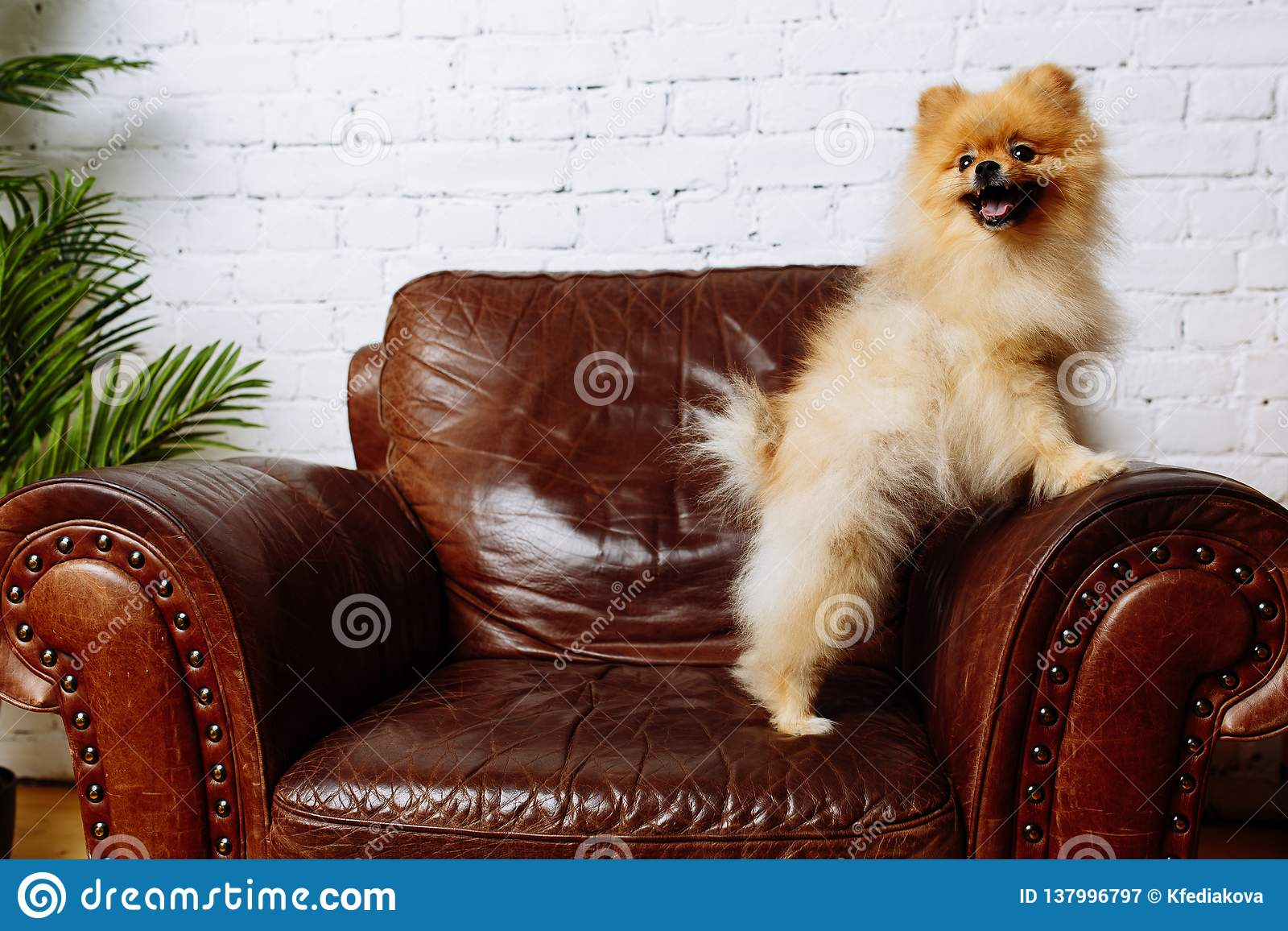 Cute Spitz dog sitting in armchair