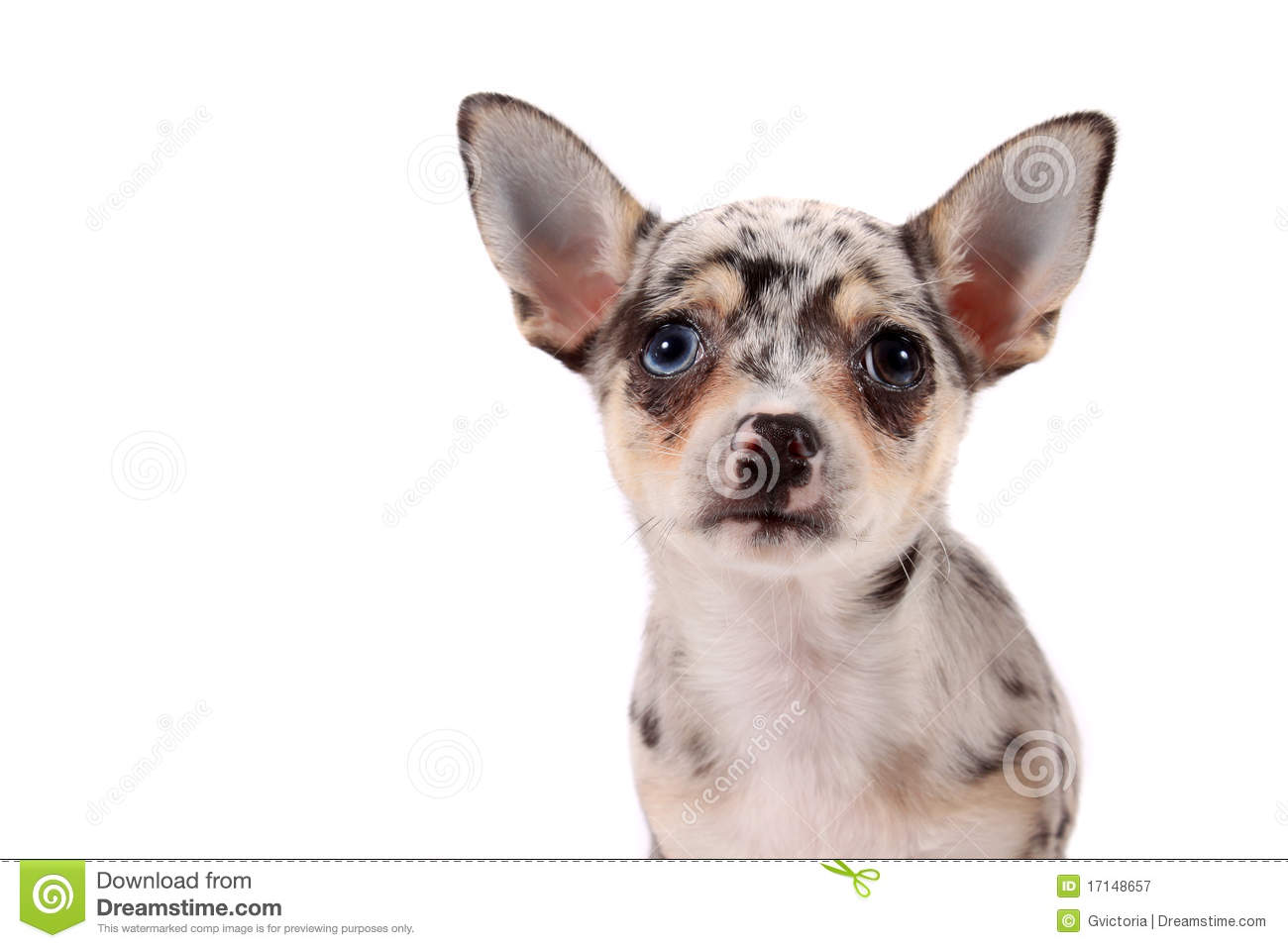spotted chihuahua cute spotted chihuahua royalty free stock photography 1129