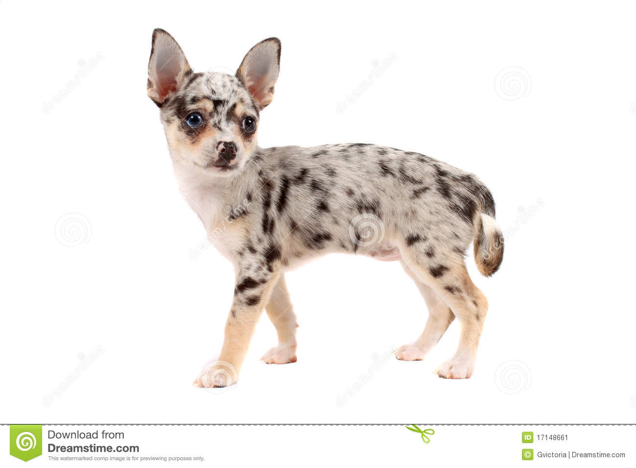 spotted chihuahua cute spotted chihuahua stock image image 17148661 668